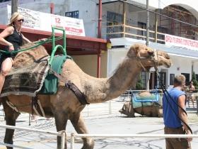 Brady Street Camel Rides
