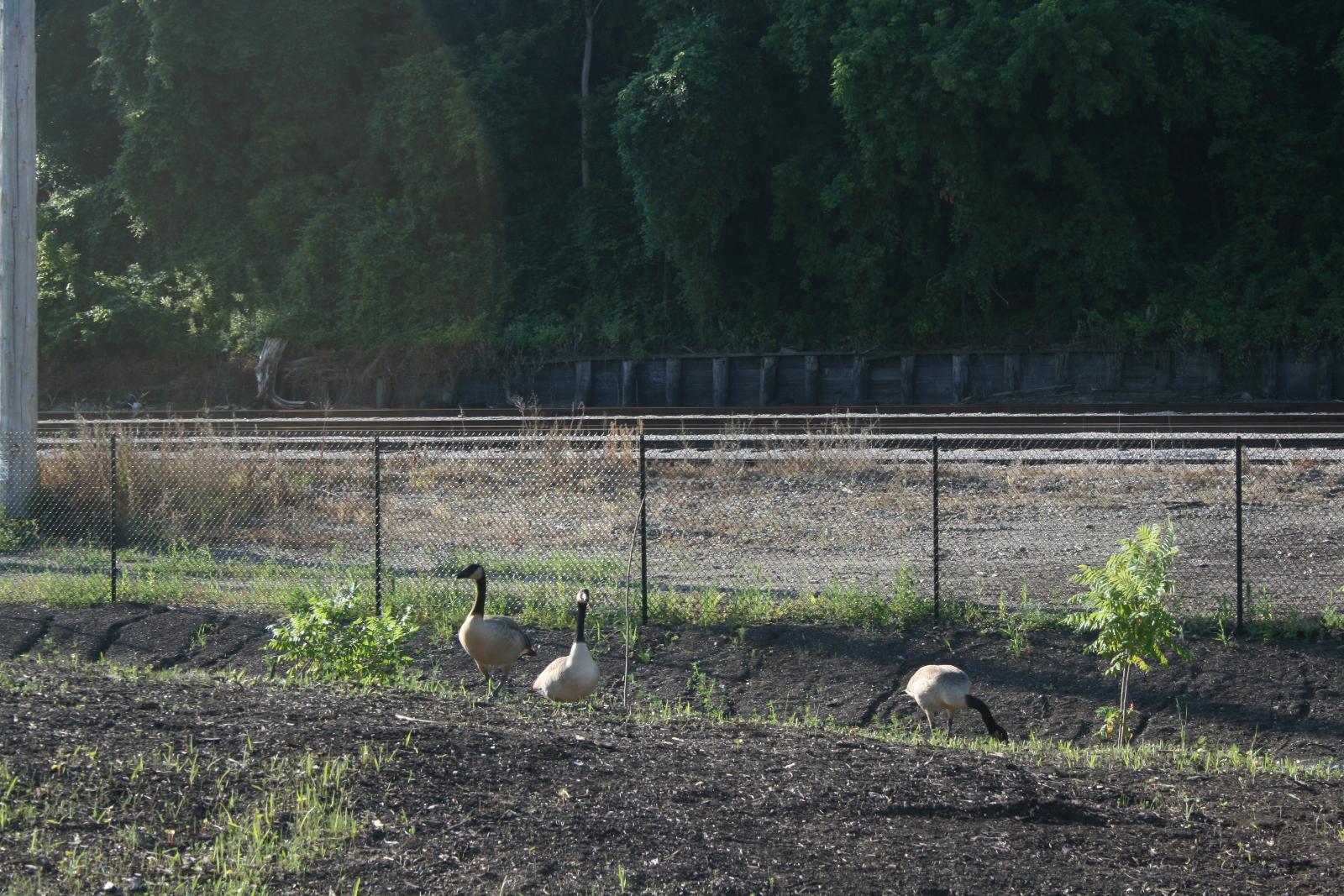 Geese enjoying the new park.