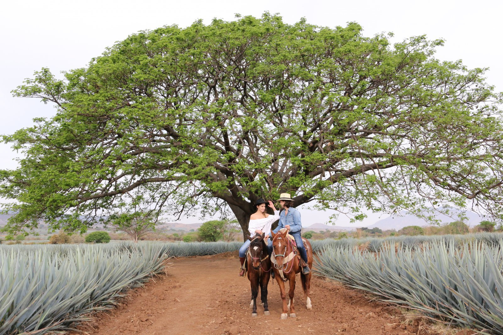 Agave fields with horses