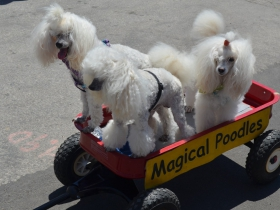 Magical Poodles