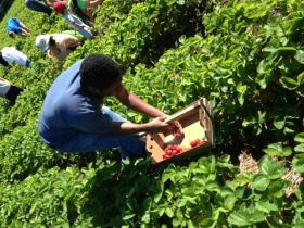 Strawberry picking at the Urban Ecology Center.