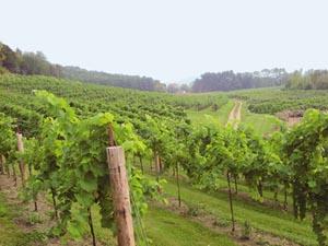 vineyard_spring04
