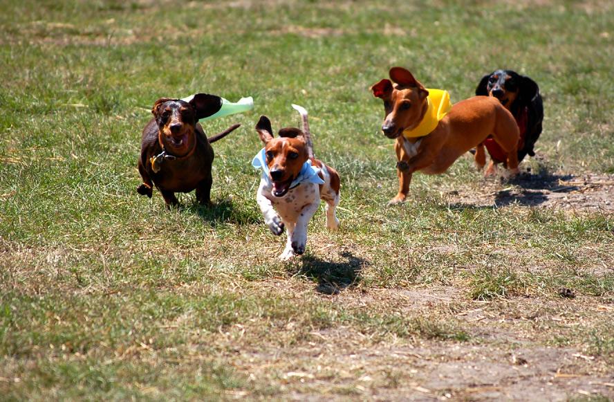 Dachshhund Dervy Germanfest Milwaukee