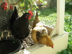 "The Runners' chickens are affectionately known as ""the girls."" (Photo courtesy of Alex Runner)"