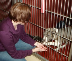 One of the many Pit Bulls temporarily housed at MADACC looks for attention from Jessica Huber. Photo by Peggy Schulz.