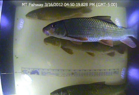 Photograph of golden redhorse and a white sucker taken by an underwater camera installed in 2011 at the Mequon Theinsville Dam Fishway. The opening of the fishway in 2010 marked the first time that most of the 36 species photograhed to date have traversed the dam in the past 150 years.