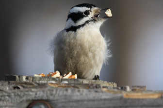 A downy woodpecker at Goose Island County Park near La Crosse in January 2014. Bureau of Science Services researchers monitor wildlife populations, including birds. Photo by Lisa Hodge-Richardson from the Wisconsin Department of Natural Resources Flickr feed.