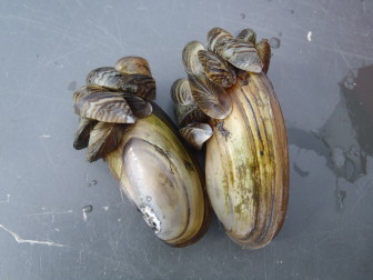 Some species get little attention even though they may be important indicators of the health of Wisconsin\'s environment. The Bureau of Science Services studies invasive mussels, such as the zebra mussels that are shown here slowly smothering a larger native species. Photo from the Wisconsin Department of Natural Resources Flickr feed.