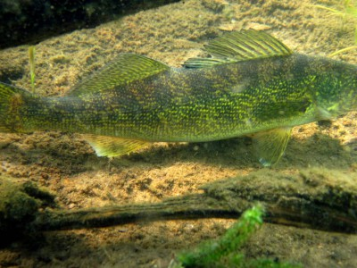 Cuts In DNR Scientists Could Hurt Walleye Fishing