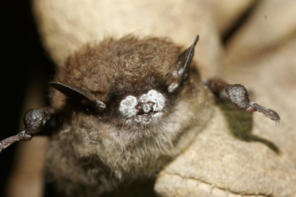 Bat fatalities from wind turbines are of special concern because white-nose syndrome has already decimated populations across the country. The fungus was discovered among little brown bats in New York, like this one from 2008. Photo by Al Hicks.