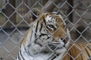 A tiger looks through the wires of its enclosure at Valley of the Kings, a sanctuary in Sharon. Large, dangerous exotics such as big cats would be included in the exotic animal ban currently being pushed by Sen. Van Wanggaard, R-Racine. Photo by Grey Satterfield IV of Curb Magazine.