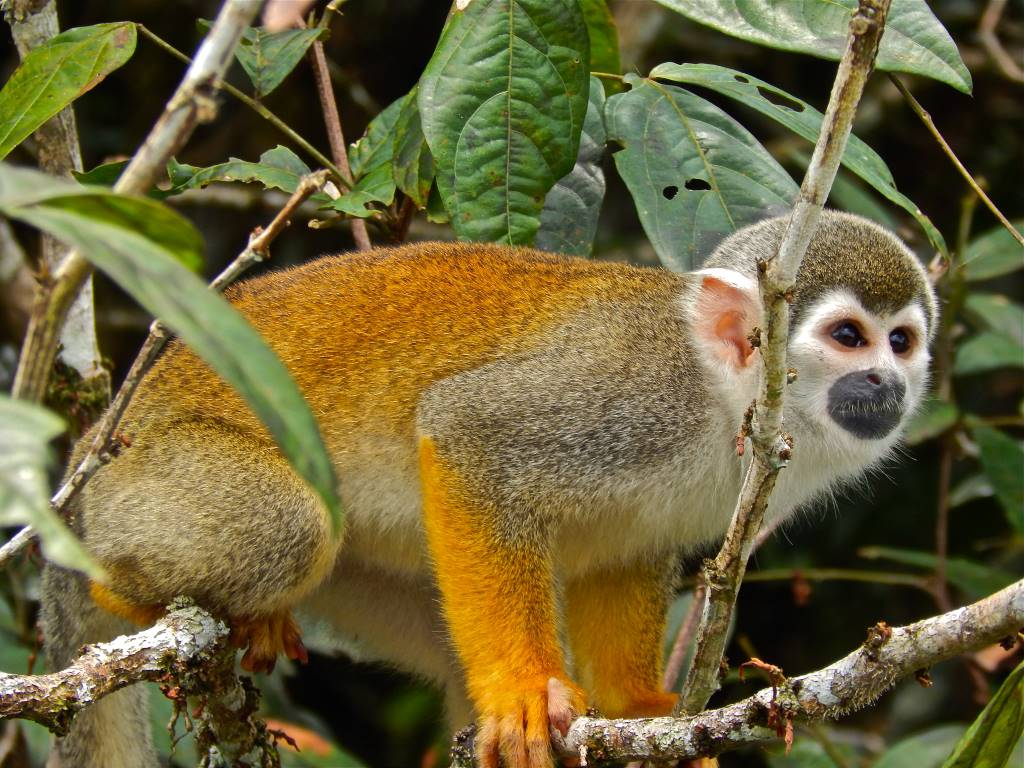 Squirrel monkeys, such as this one seen in the Ecuadorian Amazon, are among the many exotic species allowed to be kept as pets by residents in Wisconsin. The state has few restrictions on owning wild animals that are not native to Wisconsin. Photo by Monica Hall of Wisconsin Center for Investigative Journalism.