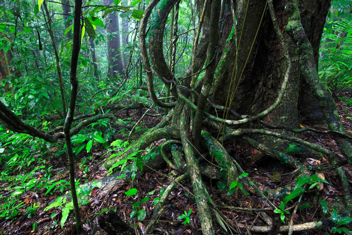 Lianas in Panama. Photo courtesy of Stefan Schnitzer.