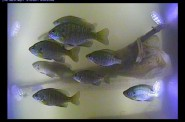 "Photograph of fish passing through the fish passage at the Mequon-Thiensville Dam. As of June 2015, a total of 35-species of fish have been recorded by a ""fishcam"" in the act of swimming past the dam [http://www.co.ozaukee.wi.us/1248/Fishway-Camera])."