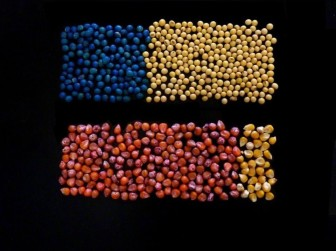 Farmers have dramatically increased the use of a class of insecticides called neonicotinoids, primarily through pesticide-treated corn and soybean seeds. The image illustrates the estimated proportion in 2011 of treated versus untreated seeds nationwide. At top are blue treated soybean seeds compared to untreated soybean seeds; below are treated red corn seeds versus untreated corn seeds. Photo by Ian Grettenberger of Penn State.