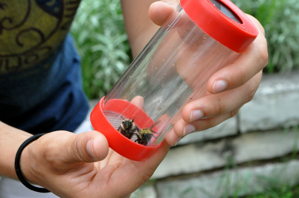 Two bees are captured and identified during the 2015 Bee Fest at the University of Wisconsin-Madison Arboretum in June. Wisconsin is proposing a plan to protect bees, but some critics question whether it does enough to discourage pesticide use tied to bee colony die-offs. Photo by Marion Ceraso for the Wisconsin Center for Investigative Journalism.