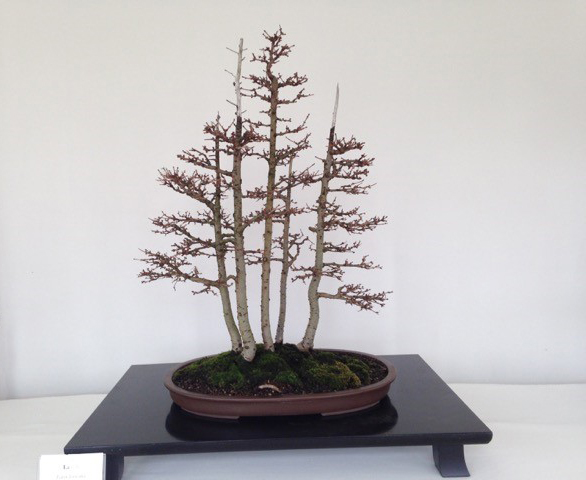 "A bonsai ""forest planting,"" with the tallest tree under 20 inches tall. From the 2015 Winter Silhouettes exhibit at The Domes. Photo courtesy of Milwaukee County Parks."