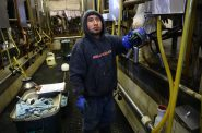 Armando, a Mexican employee at Rosenholm Farm in Cochrane, Wis, works in the milking parlor. He asked that his last name not be used because of his immigration status. Armando is among the estimated 51 percent of all dairy workers nationwide who are immigrants. His boss, John Rosenow, says that if his foreign-born employees were deported, or decided to look for work elsewhere, Americans would lose their jobs too, because the farm would be forced to shut down. Photo by Coburn Dukehart of the Wisconsin Center for Investigative Journalism.