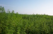Industrial Hemp. Photo by Aleks (Own work) [GFDL (http://www.gnu.org/copyleft/fdl.html), CC-BY-SA-3.0 (http://creativecommons.org/licenses/by-sa/3.0/) or CC BY-SA 2.5-2.0-1.0 (http://creativecommons.org/licenses/by-sa/2.5-2.0-1.0)], via Wikimedia Commons.