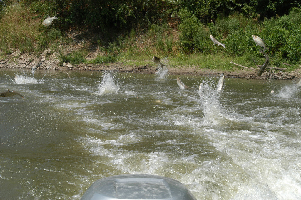 School of Jumping Silver Carp (A species of Asian Carp). Photo by Jason Jenkins (CC BY 2.0).