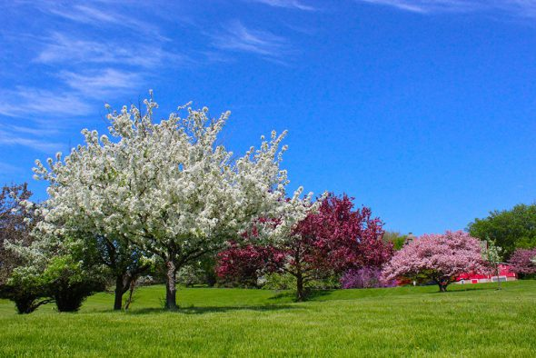 Crabapples come into bloom in Whitnall Park in time for Mother's Day. Photo taken near Boerner Botanical Gardens. Photo from Milwaukee County Parks.