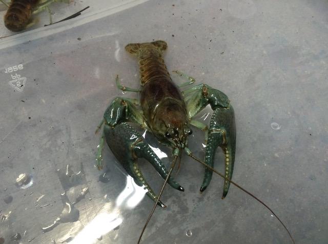 Invasive rusty crayfish. Photo by Mael Glon.