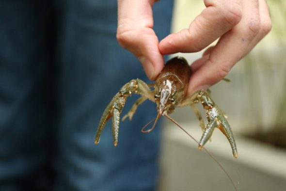 Native virile crayfish. Photo by Mael Glon.