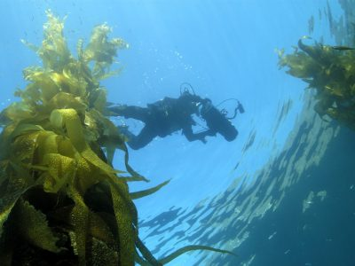 UWM biologist awarded $2.8 million grant to investigate kelp for bioenergy