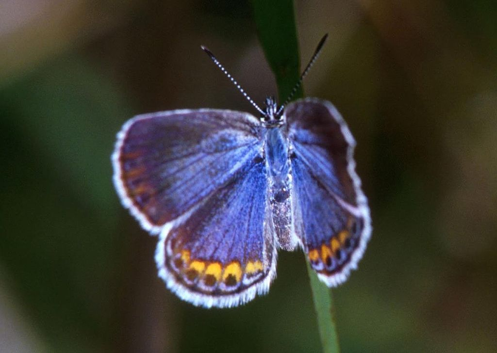 Karner Blue Butterfly. Photo is in the Public Domain.