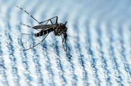 Asian tiger mosquito. Photo by coniferconifer (CC BY 2.0)