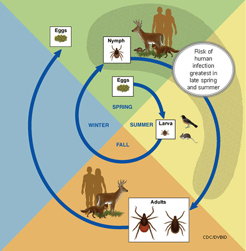 This diagram shows the life cycle of blacklegged ticks that can transmit anaplasmosis, babesiosis and Lyme disease. Diagram from the Centers for Disease Control and Prevention.