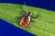 The deer tick is the species in Wisconsin responsible for transmitting the bacteria that causes Lyme disease. Photo by Jim Gathany/Centers for Disease Control and Prevention.