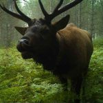 Great Lakes Echo: The Return of the Elk