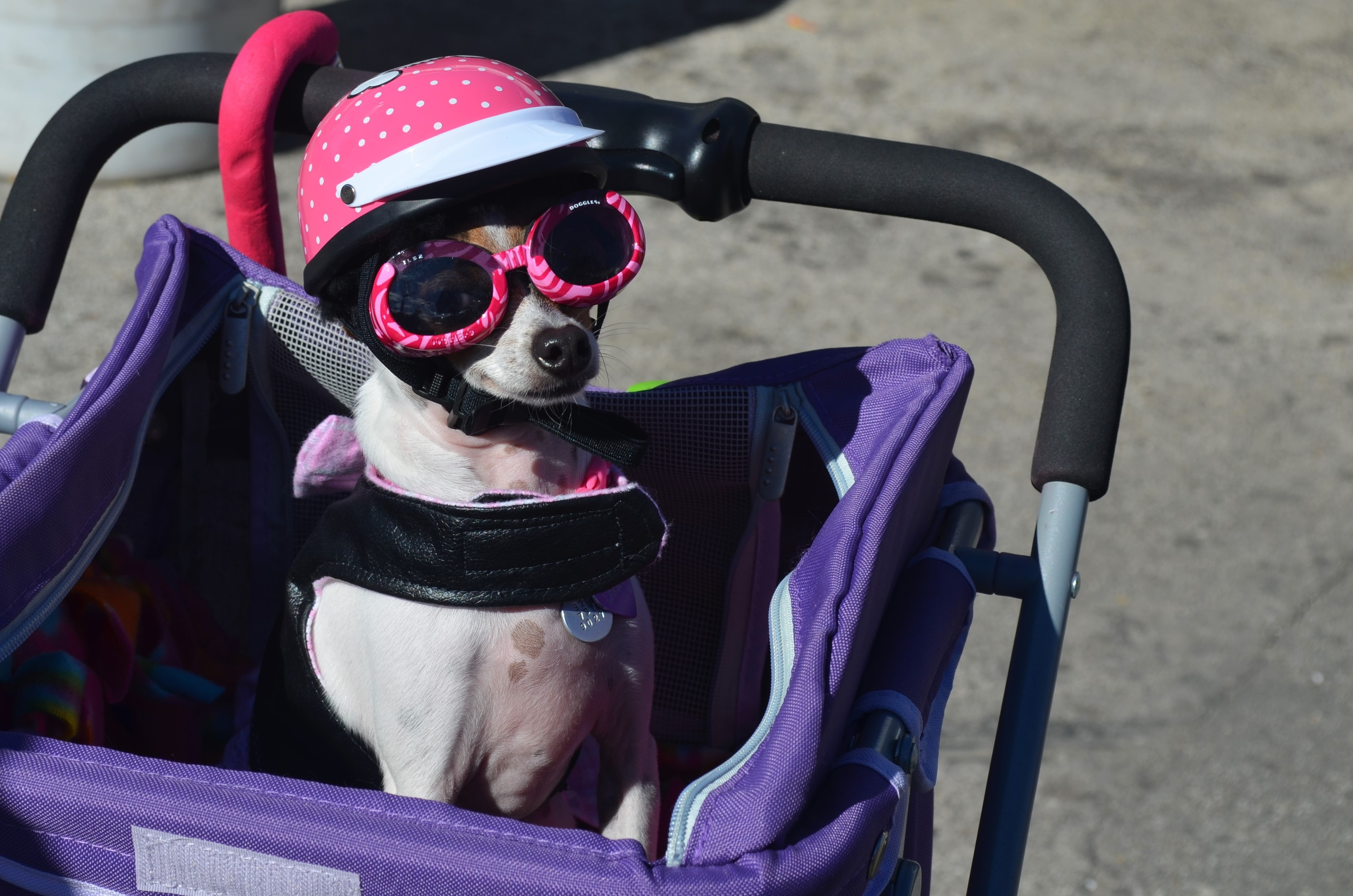 Motorcycle-riding chihuahua at Pet Fest 2018. Photo by Jack Fennimore.