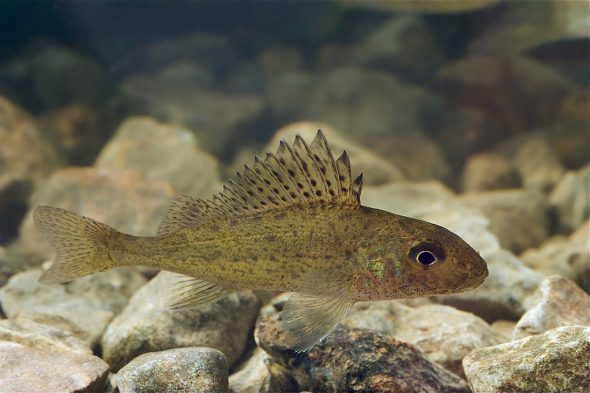 Ruffe, is an  invasive species in the Great Lakes. Photo by Tiit Hunt [CC BY-SA 3.0 (https://creativecommons.org/licenses/by-sa/3.0)], from Wikimedia Commons