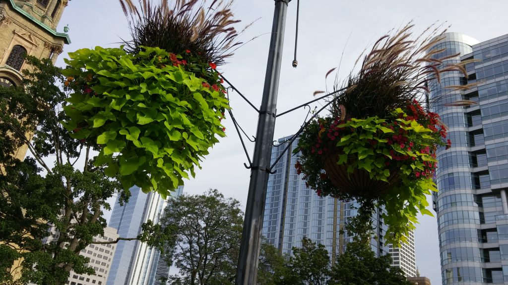 Two of the hanging flower baskets in Cathedral Square. Photo by Carl Baehr.