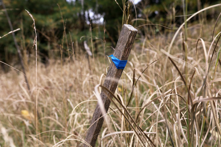 A stake with a blue ribbon marks the spot in Wisconsin's Kohler-Andrae State Park where a new access road would be built to accommodate a proposed 18-hole golf course. Friends of the Black River Forest has sued to stop the project proposed by Kohler Co. Photo by Coburn Dukehart / Wisconsin Center for Investigative Journalism.
