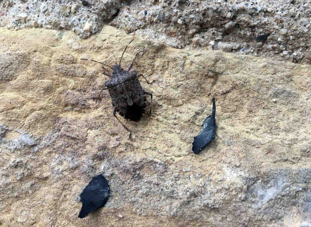 The brown marmorated stink bug, as seen on the wall of a building in Madison, is active across much of the southern portion of Wisconsin. Photo by PJ Liesch/WisContext.