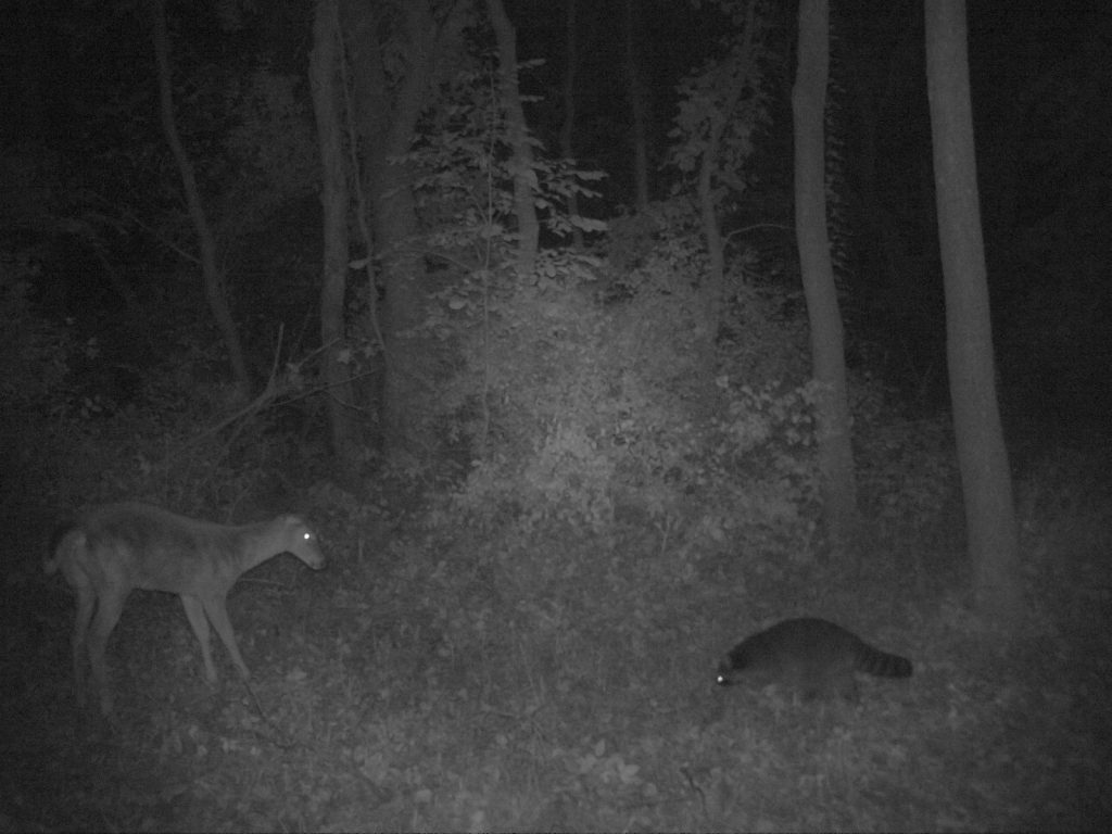 A doe and raccoon encounter each other in this image captured in 2017. Photo courtesy of Snapshot Wisconsin/Wisconsin DNR.