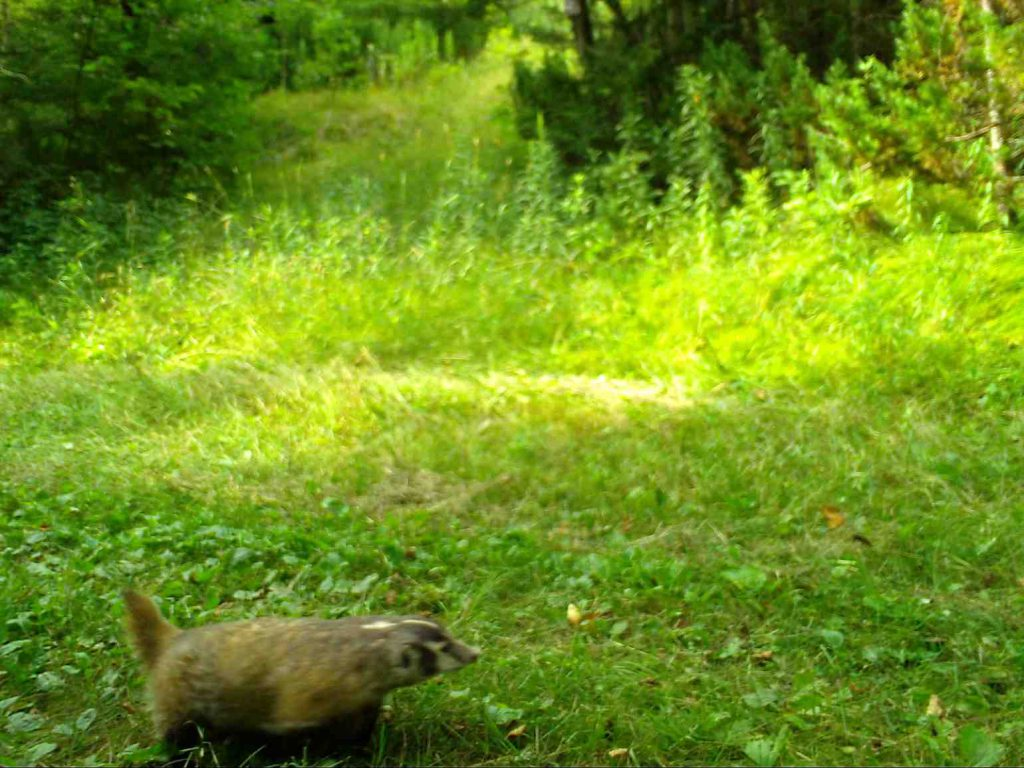 A badger was photographed in Sawyer County in April 2018. Snapshot Wisconsin/Wisconsin DNR.