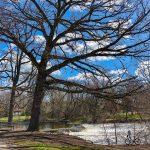 Op Ed: Save the Kletzsch Park Trees!