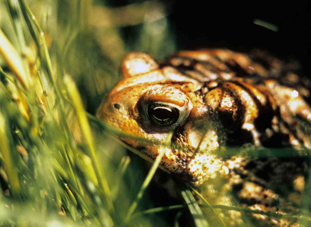 American toad. Photo from the Wisconsin Department of Natural Resources (CC BY-ND 2.0).