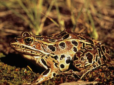 Counting the State's Frogs and Toads