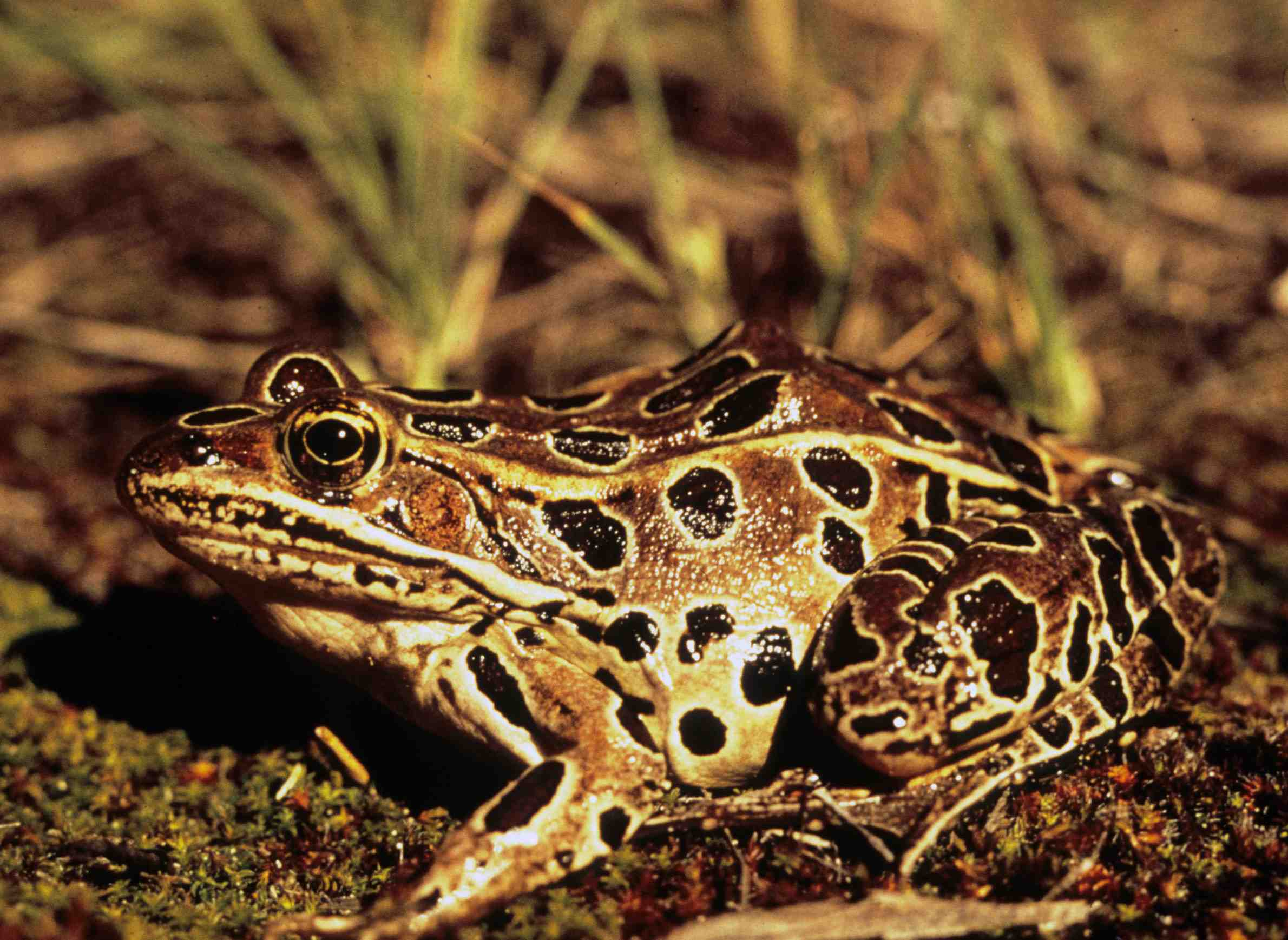 Northern leopard frog. Photo from the Wisconsin Department of Natural Resources (CC BY-ND 2.0).