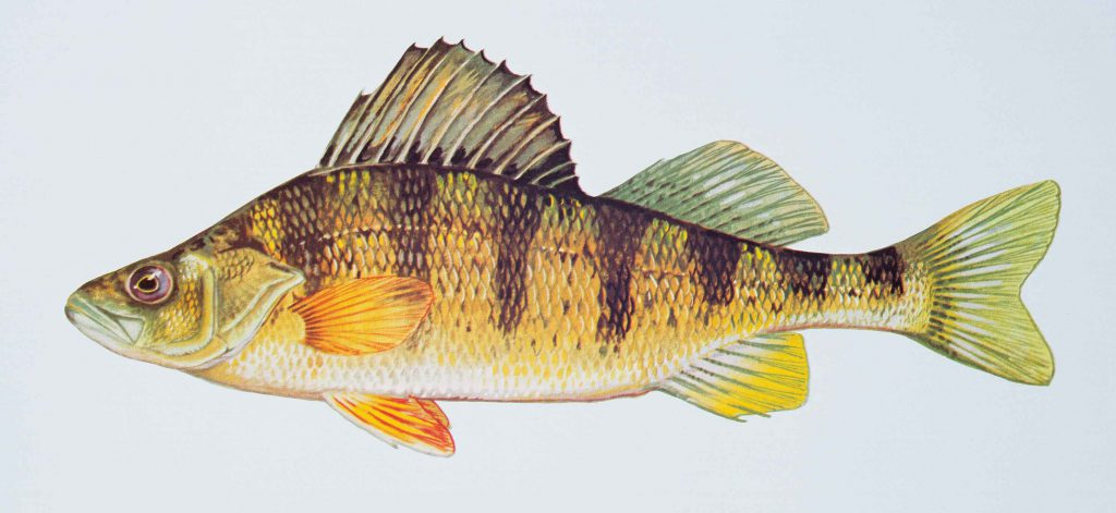 Yellow Perch. Photo is in the Public Domain.