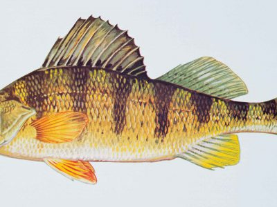 Op Ed: Save the Yellow Perch!