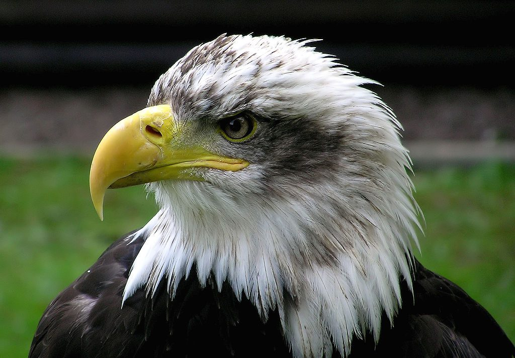 Bald Eagle. Photo is in the Public Domain.