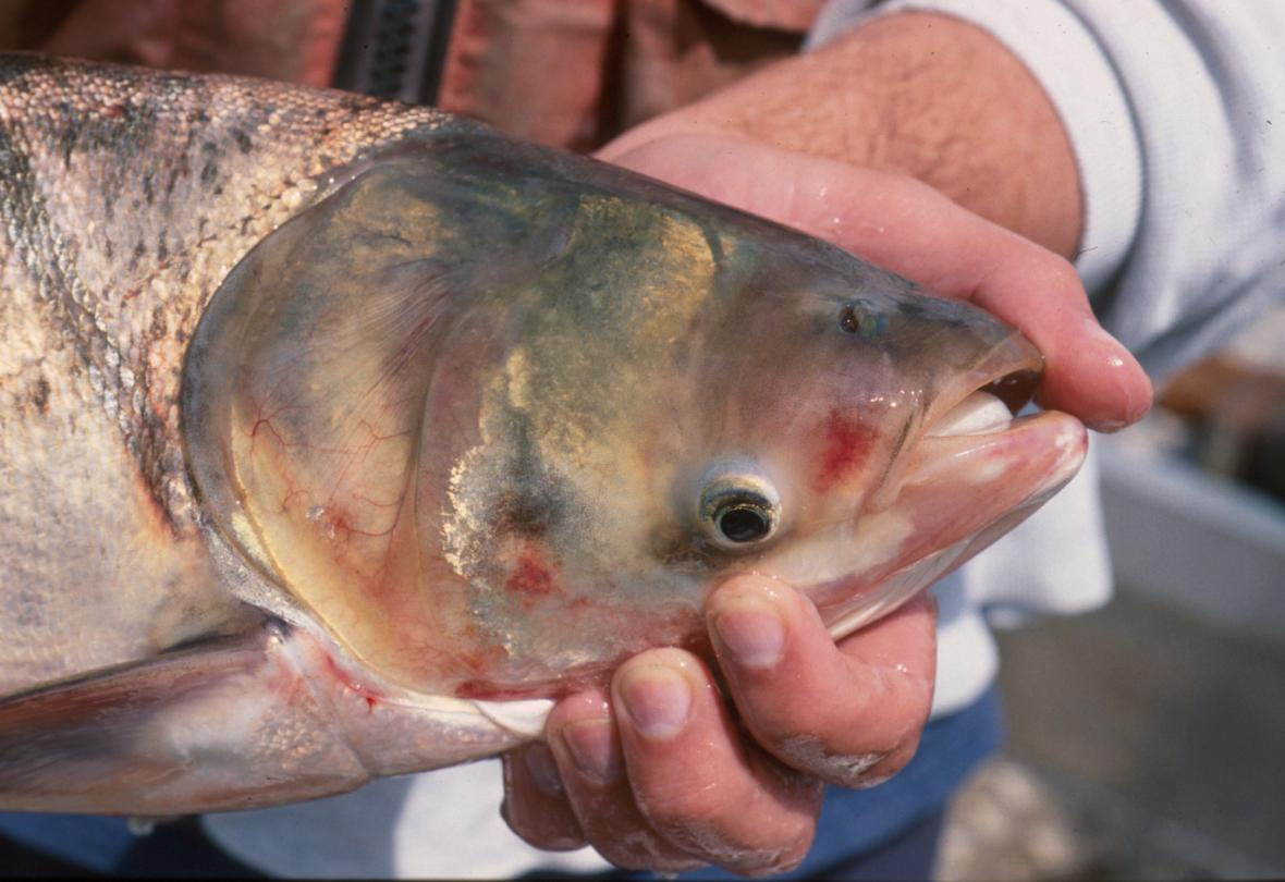 Asian carp. Photo from the Wisconsin Department of Natural Resources.