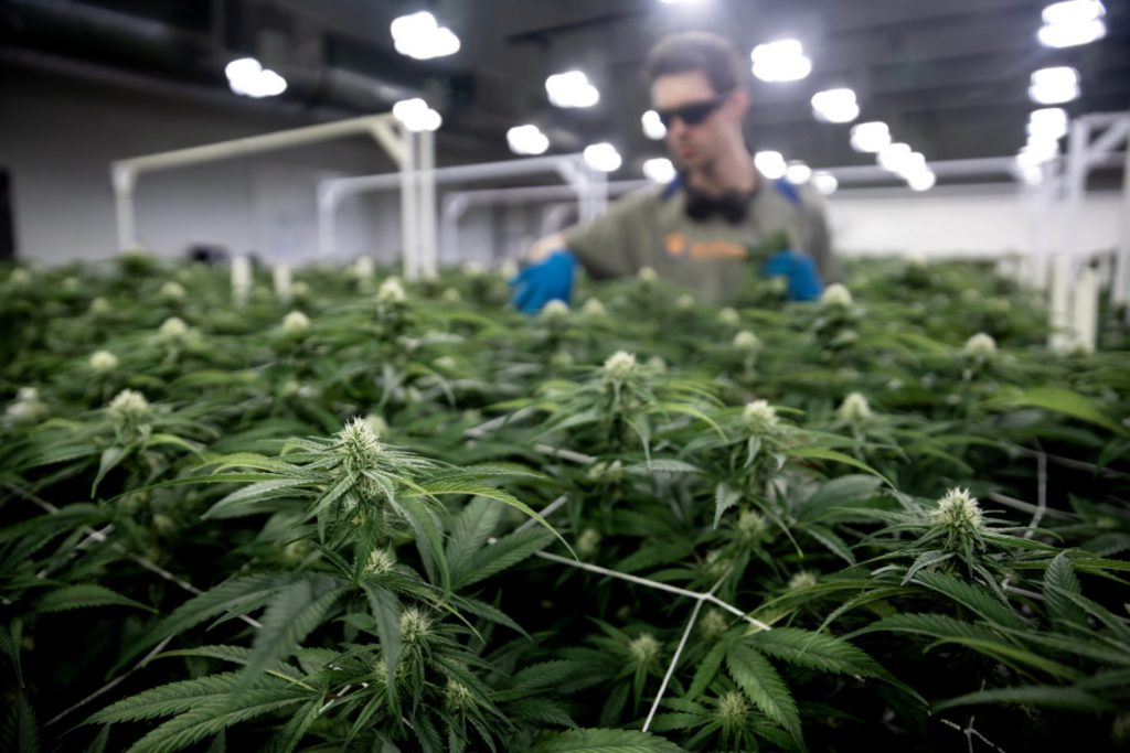 "Cannabis is seen growing in Leafline Labs headquarters, in Cottage Grove, Minn., on April 18, 2019. The 42,000-square-foot indoor cultivation and production facility is used to grow marijuana for medical uses and create various pharmaceutical cannabis products. In the background, Hunter Rogness, a Leafline Labs cultivator, ""de-fans"" the cannabis plants by taking off bigger leaves so that the buds can get enough light. Cannabis for medical and recreational use is a multibillion-dollar business in the states where it is legalized. Photo by Emily Hamer / Wisconsin Watch."