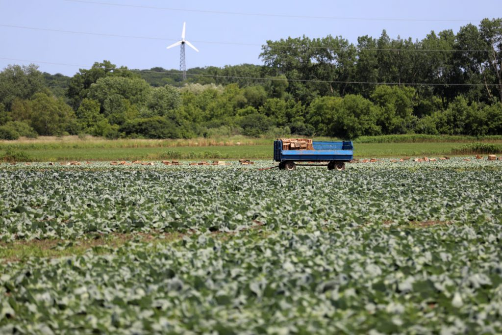"A cabbage field is seen near the area where ""Roberto"" and other Mexican laborers picked cabbages for Borzynski Farms in the fall of 2016. The Wisconsin Department of Workforce Development received a tip that the workers were being held ""prisoner."" DWD investigated and cited the head of a farm labor contracting firm for preventing the men from speaking to outsiders. It is not clear who contacted federal authorities. Borzynski Farms said in a statement it had no knowledge about the alleged trafficking. Photo taken July 1, 2019. Photo by Coburn Dukehart / Wisconsin Watch."